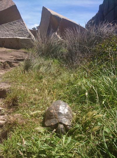 Breitrand-Landschildkröte